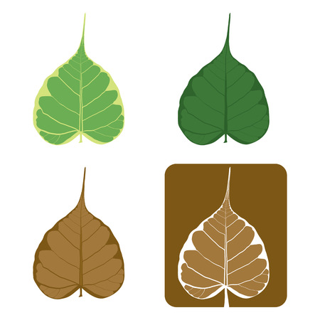 Set of Bodhi (Sacred Fig) leaf Illustration. Vector