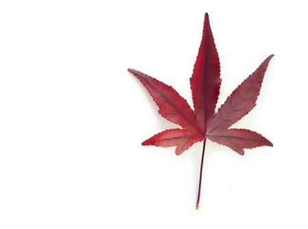 red maple leaf: Red Maple leaf on white background.