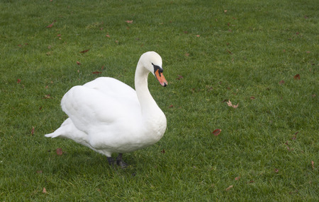 arched neck: A white goose on green grass at France.