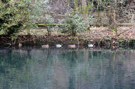 The nature view in reiver with ducks of the Vizille, France.   photo