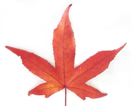 Red maple leaf isolation.