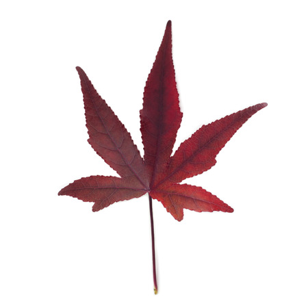 Red maple leaf isolated on white background.