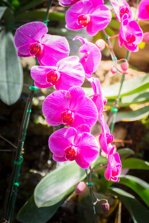 cattleya: Beautiful blooming orchids in forest, On the bright sunshine Stock Photo