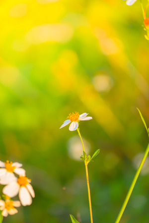 Grass flower causes the allergic symptoms, grass flowers for background.