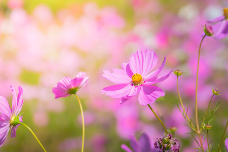 Beautiful Cosmos flowers in garden