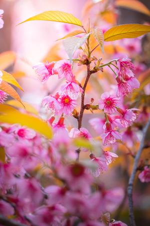 Sakura flowers blooming blossom in Chiang Mai, Thailand, nature background Stock Photo