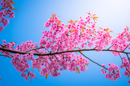 Sakura flowers blooming blossom in Chiang Mai, Thailand, nature background Stock Photo