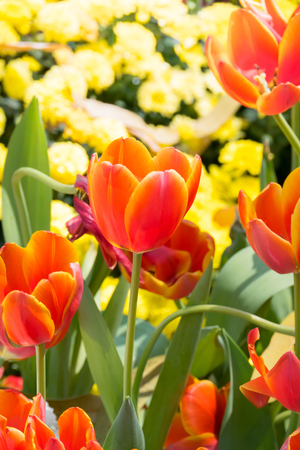 Beautiful bouquet of tulips. colorful tulips. nature background Stock Photo