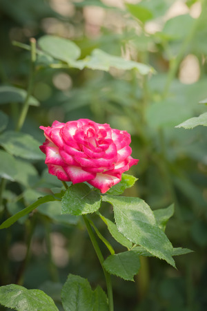 Roses in the garden, Roses are beautiful with a beautiful sunny day. Stock Photo - 111212048