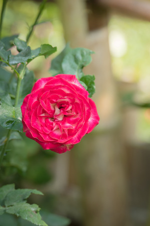 Roses in the garden, Roses are beautiful with a beautiful sunny day. Stock Photo