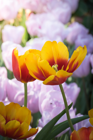 Beautiful bouquet of tulips. colorful tulips. nature background Archivio Fotografico - 115545204
