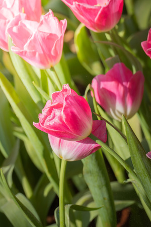Beautiful bouquet of tulips. colorful tulips. nature background Banque d'images