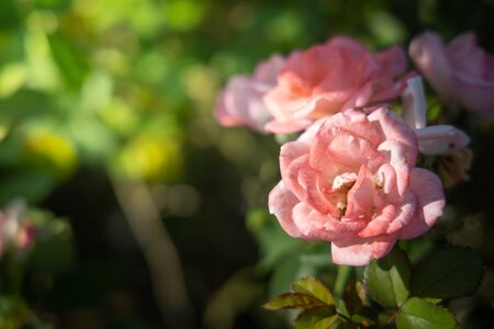 Roses in the garden, Roses are beautiful with a beautiful sunny day. Фото со стока
