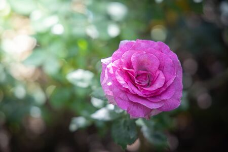 Roses in the garden, Roses are beautiful with a beautiful sunny day. Stok Fotoğraf