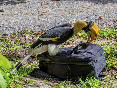 Great Hornbill Buceros bicornis is stealing my accessory, However he's so wisely Stock Photo