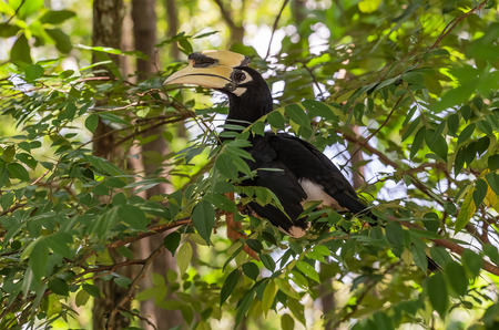 Oriental Pied Hornbill Anthracoceros albrirostis Stock Photo