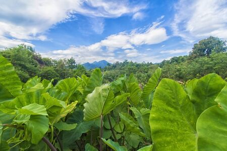 lot of green lotus on the mountain overlooking the sky. 写真素材