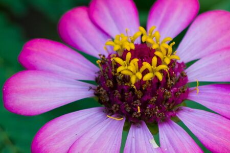 zinnia: Zinnia flower Stock Photo