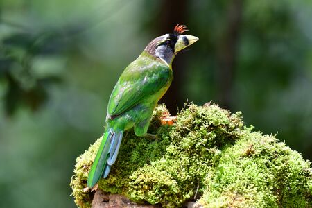 The fire-tufted barbet (Psilopogon pyrolophus) is a species of bird in the Asian barbet family Megalaimidae. It is native to Peninsular Malaysia and Sumatra, where it inhabits tropical moist lowland and montane forests. It has been listed as Least Concern on the IUCN Red List since 2004 Stok Fotoğraf