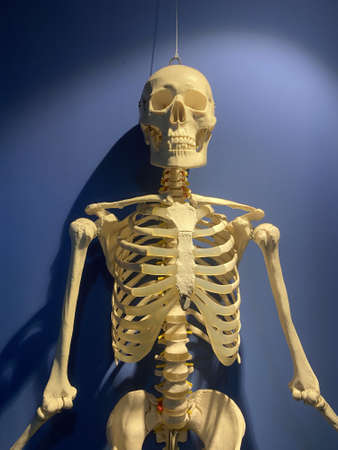 View of a human skeleton hanging inside a blue room