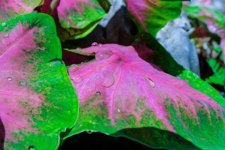 pink  leaf: A water droplet is rolling on a beautiful pink leaf. Angel Wing. Fancy leaf Caladium Stock Photo