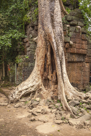 banian: One of the most interesting in Cambodia Banyan tree.