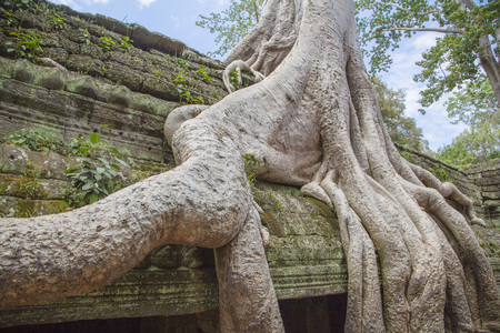 banian tree: One of the most interesting in Cambodia Banyan tree.