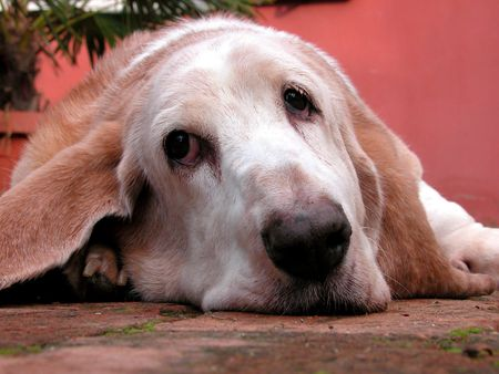 likeable: an old unhappy bassethound Stock Photo