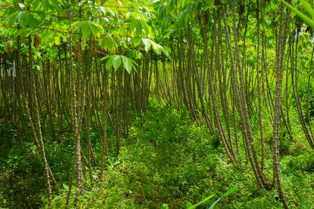 groove: Beautiful green garden with groove of cassava treeshoto taken in dramaga bogor indonesia