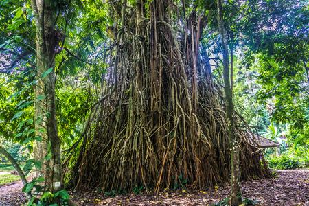 Un vieux grand arbre avec de grandes et longues racines debout au milieu d'une photo de jardin prise à Kebun Raya Bogor Indonésie