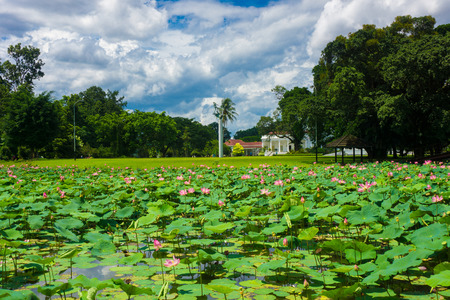 Lotus or water lily fulfill the pond near Istana Negara Bogor with beautiful landscape photo taken in Bogor Indonesia Stock fotó