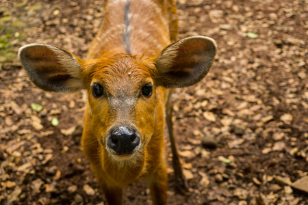 a striped deer sitatunga tragelaphus spekii with big ear photo taken in Ragunan zoo Jakarta Indonesia Archivio Fotografico