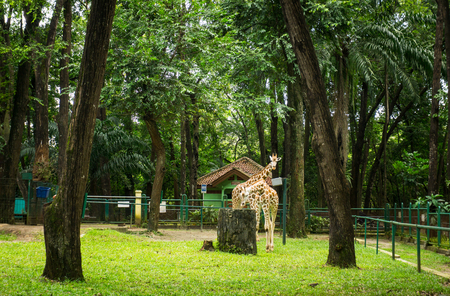 Two giraffes in cage with trees and low fence photo taken in Ragunan zoo Jakarta Indonesia Stock Photo