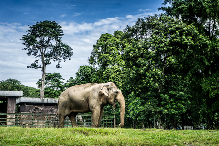 A big elephant in the cage surrounding by fence and trees and beautiful sky as background photo taken in Ragunan zoo Jakarta Indonesia Stock Photo