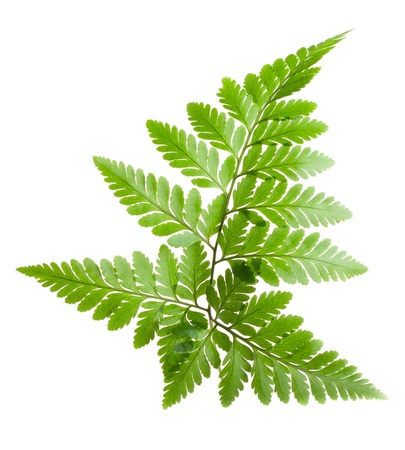 Fern isolated on white background Stock Photo
