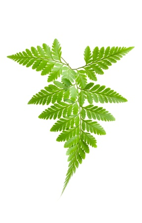 Fern isolated on white background Stock Photo - 13389487
