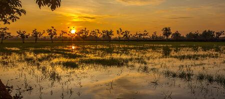 sunset of a paddy field photo