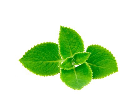 mint leave isolated on white background Stok Fotoğraf