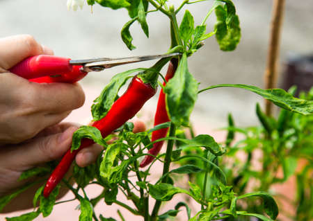 Harvesting red chilli from a home garden