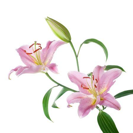lilia: Lilly aislado flores de color rosa sobre fondo blanco Foto de archivo