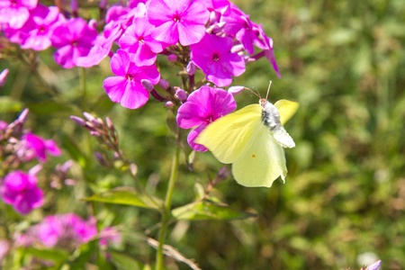 Gonepteryx rhamni (known as the common brimstone) on a clover flower