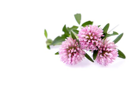 trifolium: Pink clover flowers on a white background