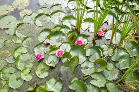 Pink Waterlily among Lily Pads