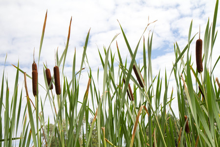 Typha (bulrush or cattail) spikes Stock Photo