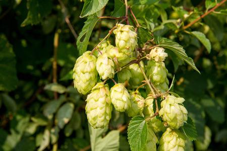 common hop: Hops - flowers of the hop plant Humulus lupulus