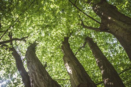 The common hornbeam trees seen upwards