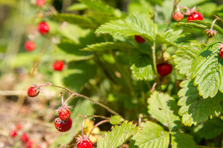 Wild strawberries (Fragaria vesca), fruiting plant in a garden Stock Photo