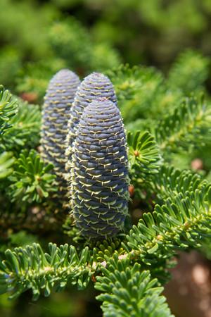 Fir tree (Abies koreana) with fresh cones