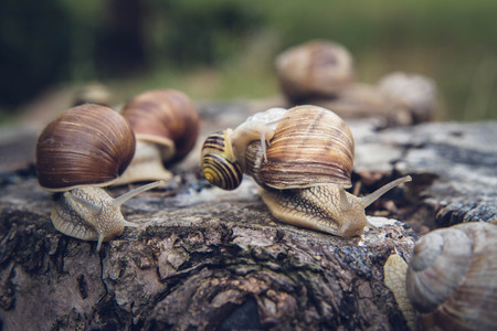 A group of Roman snails (Helix pomatia) on a tree