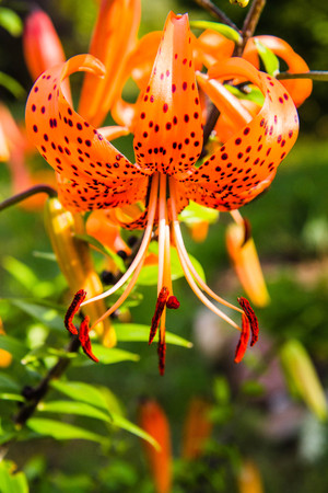 Orange tigerlily flowers blooming in a garden Stock Photo